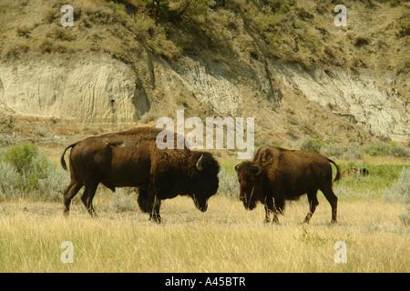AJD57280, Medora, ND, North Dakota, Theodore Roosevelt National Park, South Unit, Scenic Loop Drive, bison, buffalo, - Stock Photo
