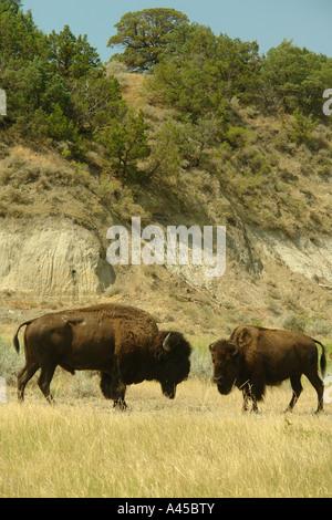 AJD57281, Medora, ND, North Dakota, Theodore Roosevelt National Park, South Unit, Scenic Loop Drive, bison, buffalo, - Stock Photo