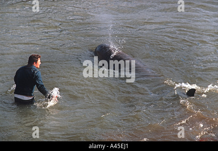 A Northern Bottlenosed whale lost on the River Thames London Sadly the resciue attempt next day failed - Stock Photo