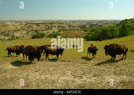 AJD57260, Medora, ND, North Dakota, Theodore Roosevelt National Park, South Unit, bison, buffalo herd - Stock Photo