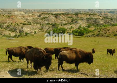 AJD57261, Medora, ND, North Dakota, Theodore Roosevelt National Park, South Unit, bison, buffalo herd - Stock Photo