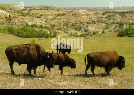 AJD57262, Medora, ND, North Dakota, Theodore Roosevelt National Park, South Unit, bison, buffalo herd - Stock Photo