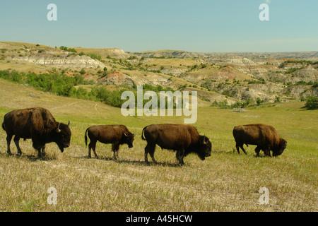 AJD57264, Medora, ND, North Dakota, Theodore Roosevelt National Park, South Unit, bison, buffalo herd - Stock Photo
