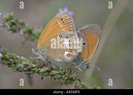 CHESTNUT HEATH COENONYMPHA GLYCERION MATED PAIR - Stock Photo