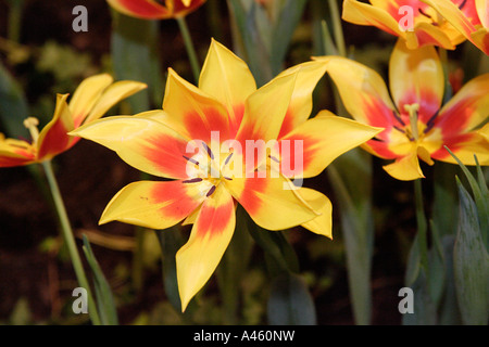 Blooming tulips at the International Green Week 2006 in Berlin, Germany - Stock Photo