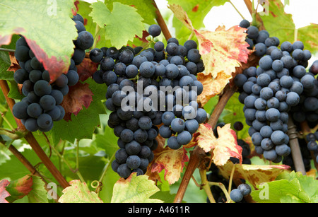 Bunches of ripe blue grapes - Stock Photo