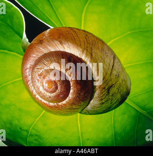 Snail shell on a leaf in backlight - Stock Photo