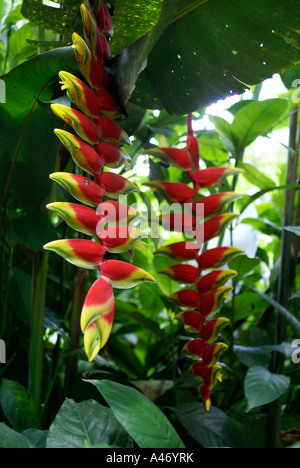 Red flowers of a banana tree - Stock Photo
