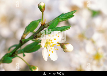 Cherry blossoms in spring time. - Stock Photo