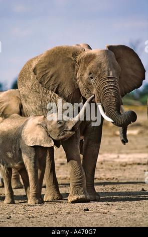 African elephant Loxodonta africana Elephant with young Chobe National Park Botswana Sub Saharan Africa - Stock Photo