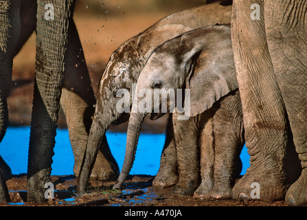 African elephant Loxodonta africana Drinking at waterhole Addo Elephant National Park South Africa Sub Saharan Africa - Stock Photo