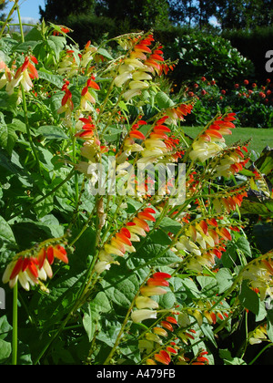 mina lobata citronella in garden herbaceous perennial border stock photo royalty free image. Black Bedroom Furniture Sets. Home Design Ideas
