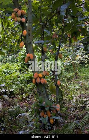 Abundance of cocoa pods ripening on trees in jungle plantation, Island of Bioko, Equatorial Guinea, Central Africa - Stock Photo