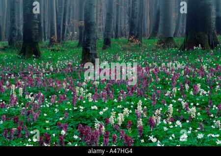 Beech forest Buchenwald - Stock Photo