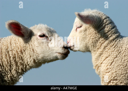 Domestic sheep with lamb - Stock Photo