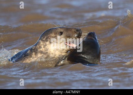 Pair of grey seals Halichoerus grypus frolicking among waves - Stock Photo