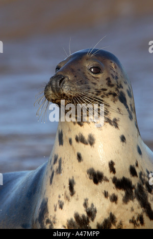 Cow grey seal Halichoerus grypus at edge of sea - Stock Photo