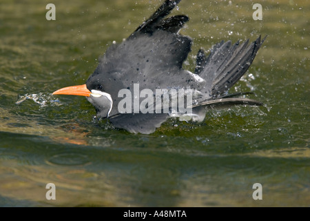 Inca Tern / Inka-Seeschwalbe - Stock Photo