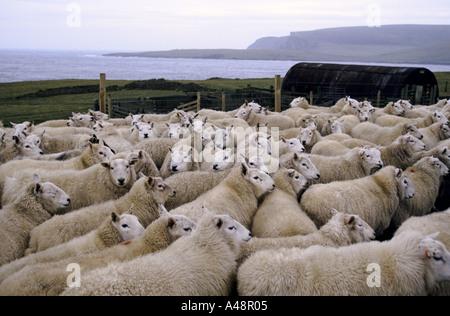 A flock of sheep in a pen waiting to be  sheared .Shetland Islands near Lerwick . - Stock Photo