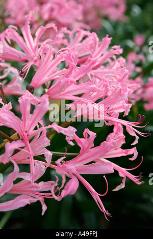Nerine bowdenii flowers - Stock Photo