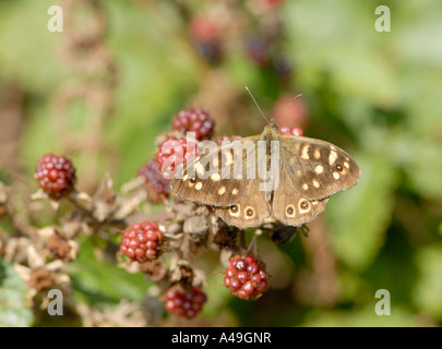 A Speckled Wood butterfly Pararge aegeria rests with open wings on unripe blackberries - Stock Photo