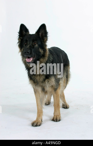 German Shepherd Dog / Alsatian - Stock Photo