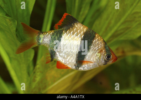 Sumatra barb, tiger barb (Puntius tetrazona (Barbus tetrazona)), female - Stock Photo