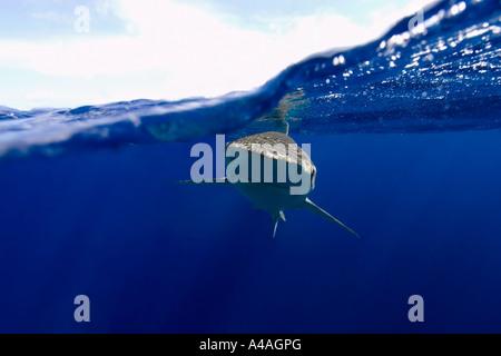 Galapagos sharks Carcharhinus galapagensis Oahu Hawaii - Stock Photo