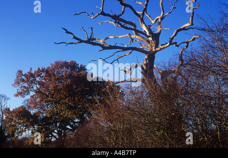 Dead English oak or Quercus robur tree under blue sky with live brown-leaved oak beyond and Hawthorn hedge in front - Stock Photo