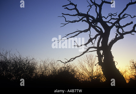 Silhouette against dawn or evening sky of dead English oak or Quercus robur tree with bare winter Hawthorn hedge - Stock Photo
