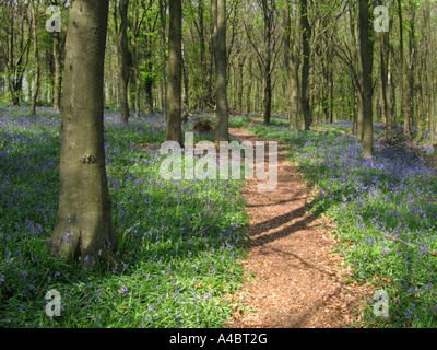 Path through Bluebells in Shoreham Woods Shoreham Kent UK - Stock Photo