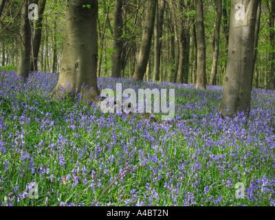 Bluebells in Shoreham Woods Shoreham Kent UK - Stock Photo
