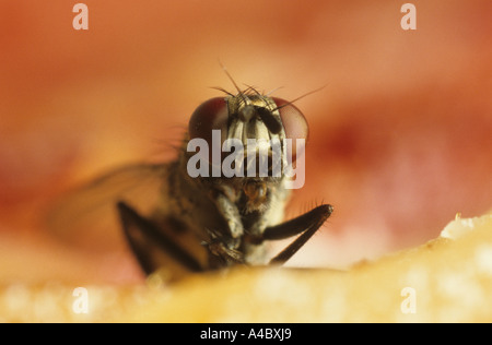 House fly or housefly Musca domestica on meat - Stock Photo