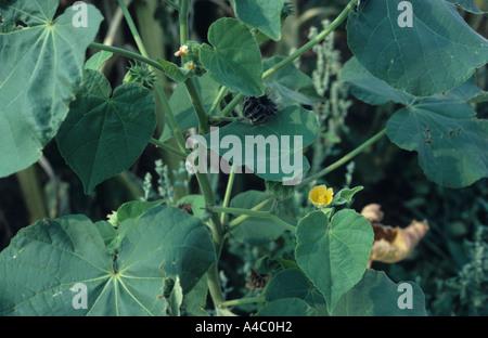 Velvet Leaf Abutilon theophrasti flowering and with seedheads - Stock Photo
