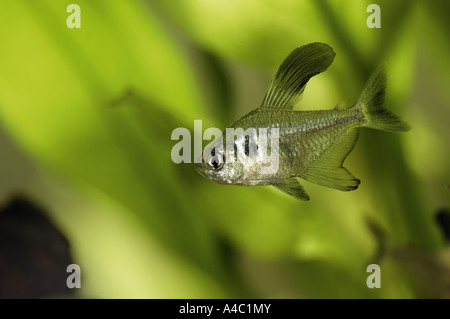 Black phantom tetra Hyphessobrycon megalopterus - Stock Photo