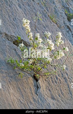 European Serviceberry, Snowy Mespillus (Amelanchier ovalis), flowering bush in a crack in a rock face - Stock Photo