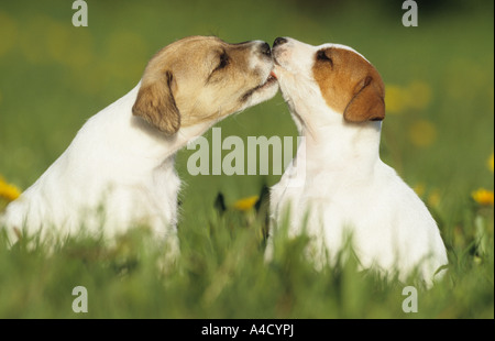 Parson Jack Russell Terrier (Canis lupus familiaris), two puppies sitting on a meadow, while licking each other - Stock Photo
