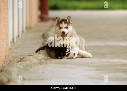 two Husky dog puppies - playing - Stock Photo