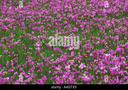 A field of 'shooting stars'(Dodecatheon pulchellum) in the spring.  Montana   USA - Stock Photo