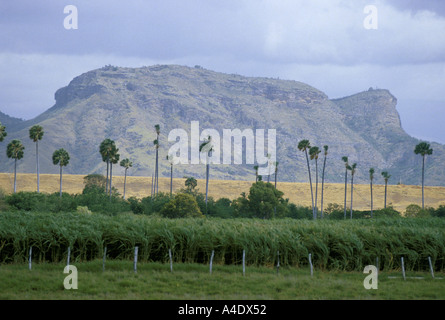 Palm trees stick out from a sugarcane plantation in the Holguin Province, Cuba - Stock Photo