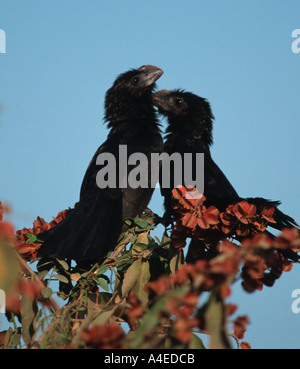Groove billed Ani Crotophaga sulcirostris Northern Pantanal Brazil - Stock Photo