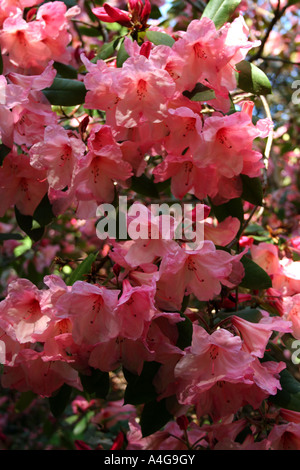 Blooming oleander bush flower detail in stobo japanese for Stobo water gardens