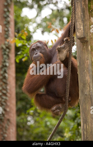 Malaysia Borneo Sabah Sepilok primates young male Orang utang Pongo pygmaeus - Stock Photo