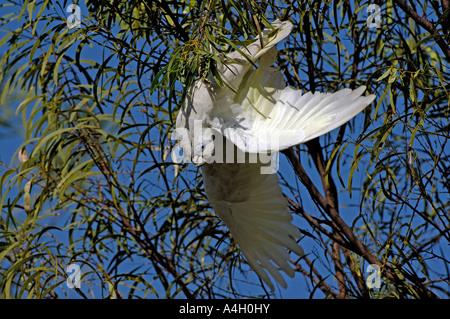 Little corella, Cacatua sanguinea, southaustralia, australia - Stock Photo