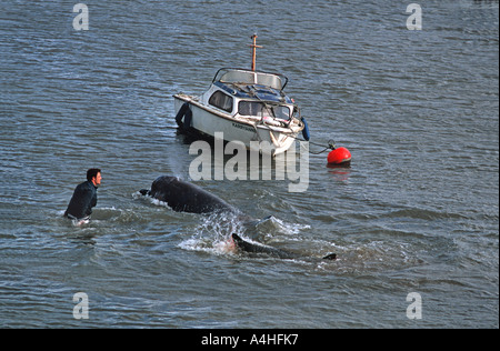 A Northern Bottlenosed whale lost on the River Thames London Next to Albert Bridge Chelsea England United Kingdom - Stock Photo