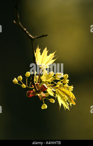 Blossoms and young leaves of the Norway Maple Acer platanoides in dramatic opposite light with dark background in - Stock Photo
