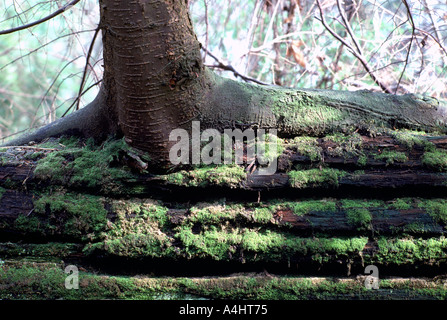 Pictures Of Red Cedar Trees Painted On Rocks