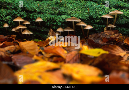 Mycena inclinata fungi growing in the New Forest Hampshire county England UK - Stock Photo