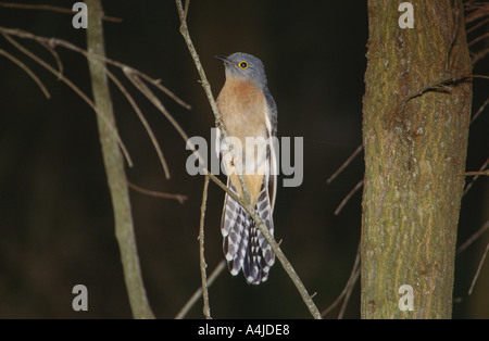 Fan tailed cuckoo Cacomantis flabelliformis sitting on a dry branch in a Casuarina forest Kangaroo Island South - Stock Photo