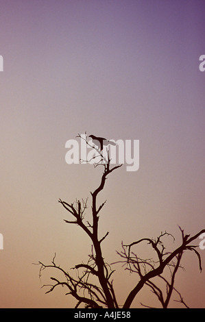 Wedge tailed eagle Aquila audax sitting on dead tree - Stock Photo